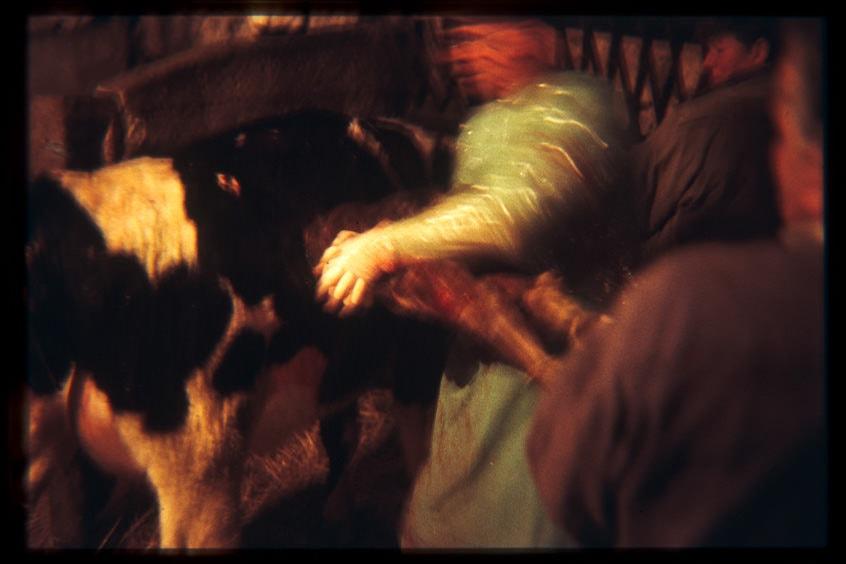 Césarienne sur une vache.