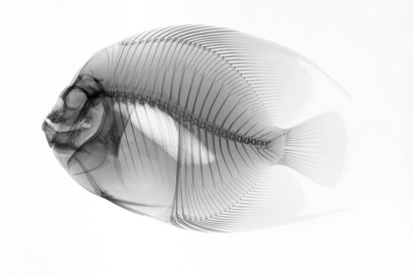 Radiographie vétérinaire d'un poisson.